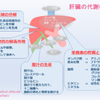 肝臓の代謝機能