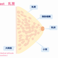 Breast 乳房