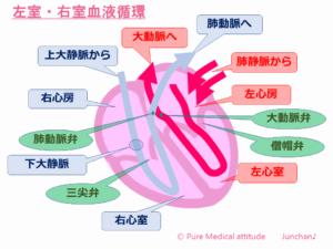 左室・左室血液循環