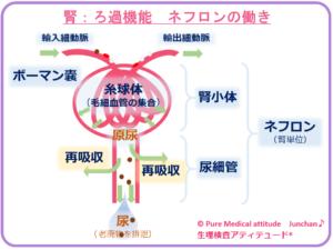 腎:ろ過機能 ネフロンの働き