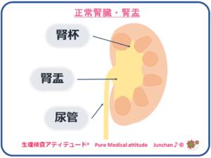 正常腎臓・腎盂・腎杯