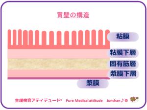 胃壁の構造