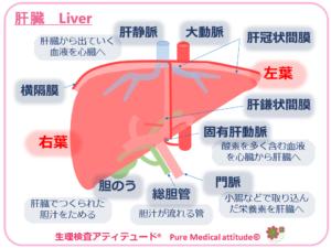 肝臓 Liver