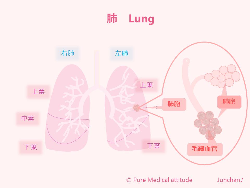 肺 Lung