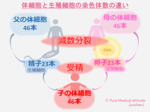 体細胞と生殖細胞との染色体数の違い