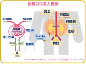 腎臓の位置と構造