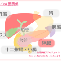 肝臓の位置関係