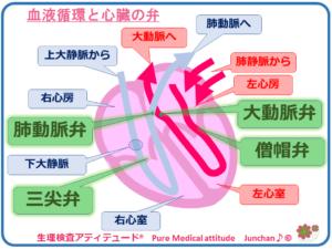 血液循環と心臓の弁