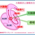 大動脈弁と僧帽弁の位置