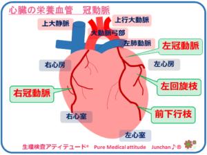 心臓の栄養血管 冠動脈