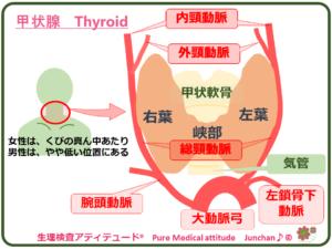 甲状腺 Thyroid