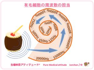 有毛細胞の周波数の担当