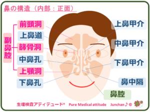 鼻の構造(内部・正面)