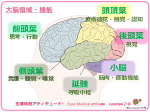 大脳領域・機能