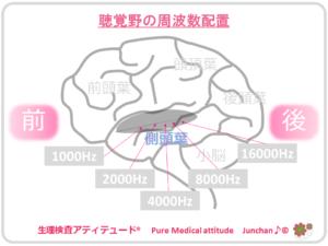 聴覚野の周波数配置