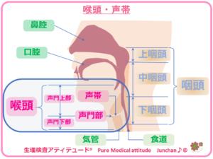 喉頭・声帯