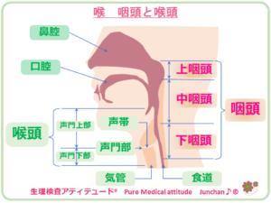 喉 咽頭と喉頭