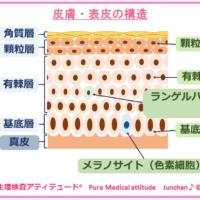 皮膚・表皮の構造