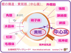 眼の構造・黄斑部(中心窩)