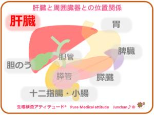 肝臓と周囲臓器との位置関係