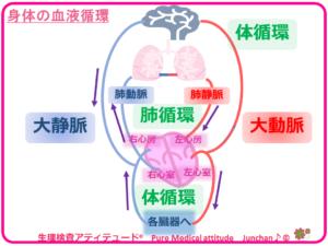 身体の血液循環