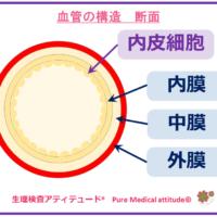 血管の構造 断面