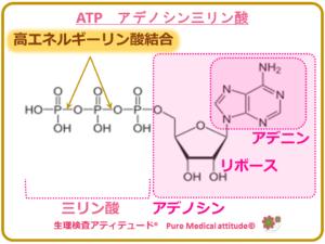 ATP アデノシン三リン酸