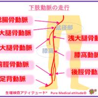 下肢動脈の走行