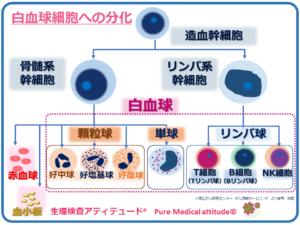 白血球細胞の分化