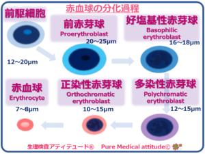 赤血球の分化過程