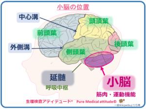 小脳の位置