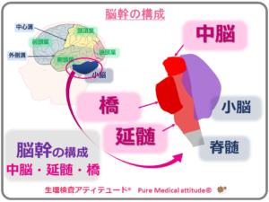 脳幹の構成