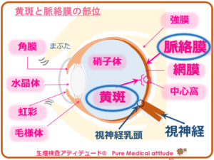 黄斑と脈絡膜