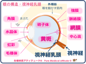 眼の構造・視神経乳頭